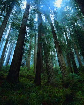 Foto: Árboles y copas de árboles - Redwood Trees in Old Growth Forest