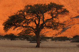 Tree & plant pictures Wall Art as Canvas, Acrylic or Metal Print Afrika - Namibia - Akazie