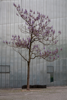 Tree pictures Wall Art as Canvas, Acrylic or Metal Print Blossom tree and steel building