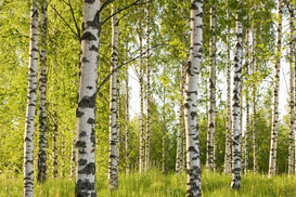 Bestseller p.ej., como imagen en lienzo o para la pared en metacrilato: Forest of birch trees