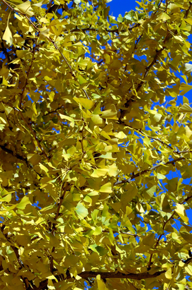 Tree & plant pictures Wall Art as Canvas, Acrylic or Metal Print Ginkgo-Baum im Herbst