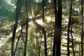 Tree & plant pictures Wall Art as Canvas, Acrylic or Metal Print Sunbeams shining through beech forest