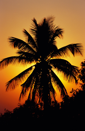 Palmen Foto's bijv. als canvasfoto of wandfoto achter acrylglas: Colourful sunset behind top of coconut tree, Pune, Maharashtra, India