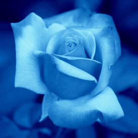 Rose pictures Wall Art as Canvas, Acrylic or Metal Print Blue Rose Blume, Blüte, blau