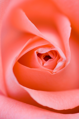 Rose Immagini ad esempio come immagine su tela o a muro dietro vetro acrilico: Close up of the inside of a pink rose