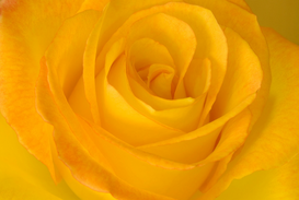 Rose pictures Wall Art as Canvas, Acrylic or Metal Print Yellow tea rose