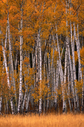 Fall pictures Wall Art as Canvas, Acrylic or Metal Print Aspens in the Fall