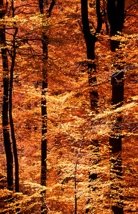 Forest pictures Wall Art as Canvas, Acrylic or Metal Print Beech Forest in autumn / Buchenwald im Herbst