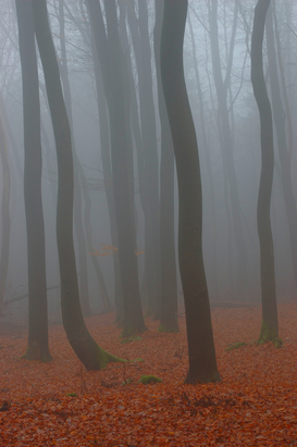 Forest pictures Wall Art as Canvas, Acrylic or Metal Print Beech forest in fog / Buchenwald im Nebel