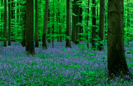 Forest pictures Wall Art as Canvas, Acrylic or Metal Print Bluebell / Hasengloeckchen