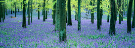 Tree & plant pictures Wall Art as Canvas, Acrylic or Metal Print BLUEBELLS