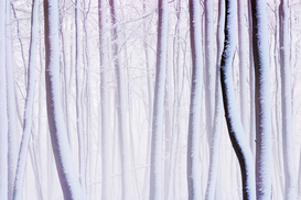 Forest pictures Wall Art as Canvas, Acrylic or Metal Print Buchenwald im Winter