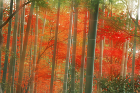 Bossen Foto's bijv. als canvasfoto of wandfoto achter acrylglas: misty sun filling bamboo forest in autumn at arashiyama park in kyoto, japan