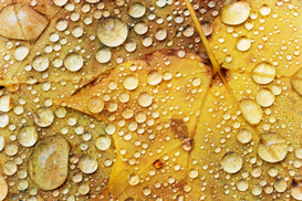 Herfst Foto's bijv. als canvasfoto of wandfoto achter acrylglas: Water drops on a maple leaf