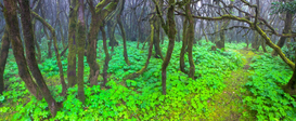Foto: Bossen - Green undergrowth and bare trees, Laguna Grande, La Gomera Island, Spain