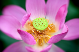 EyeEm Bilder z.B als Leinwandbild oder Wandbild hinter Acrylglas: Extreme Close-up of lotus flower