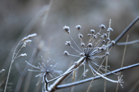 EyeEm Immagini p.ej., como imagen en lienzo o para la pared en metacrilato: Close up of a frozen plant in the winter