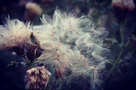 EyeEm Landscape pictures Wall Art as Canvas, Acrylic or Metal Print Close-Up Of Dandelion