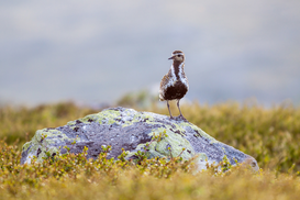 EyeEm Landscape pictures Wall Art as Canvas, Acrylic or Metal Print Golden Plover Perching On Rock At Field