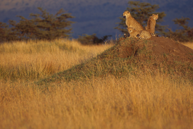 Foto: Wilde dieren - Cheetahs Keeping Watch