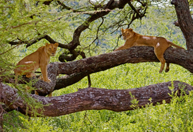Foto: Wilde dieren - Female LIONS (Panthera leo) in a tree - LAKE MANYARA NATIONAL PARK, TANZANIA