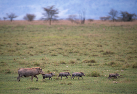 Foto: Wilde dieren - Warthog and Young
