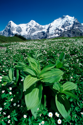Alpes y Europa Imágenes p.ej., como imagen en lienzo o para la pared en metacrilato: Flower meadow and mountains / Blumenwiese und Berge