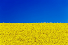 Landscape pictures Wall Art as Canvas, Acrylic or Metal Print Clear blue sky and rape field
