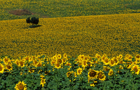 Pictures of fields & meadows  Wall Art as Canvas, Acrylic or Metal Print europe, spain, andalusia, sunflower field