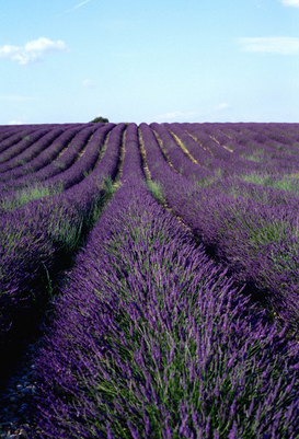 Landscape pictures Wall Art as Canvas, Acrylic or Metal Print france - provence, lavender fields