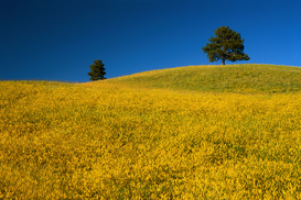 Pictures of fields & meadows  Wall Art as Canvas, Acrylic or Metal Print Hillside of Yellow Clover
