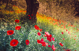 Spring pictures Wall Art as Canvas, Acrylic or Metal Print Landschaft in der Toscana, Mohnblumen und Olivenbaum / landscape in Toscana...