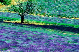 Pictures of fields & meadows  Wall Art as Canvas, Acrylic or Metal Print Lavendelfeld in der Provence in Frankreich