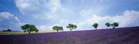 Pictures of fields & meadows  Wall Art as Canvas, Acrylic or Metal Print Lavendelfeld, Provence, Frankreich
