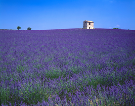 Pictures of fields & meadows  Wall Art as Canvas, Acrylic or Metal Print Lavender field