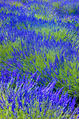Landscape pictures Wall Art as Canvas, Acrylic or Metal Print lavender field in Provence France