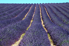 Pictures of fields & meadows  Wall Art as Canvas, Acrylic or Metal Print Lavender field (Lavandula angustifolia), Plateau de Valensole, Provence, France