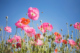 Pictures of fields & meadows  Wall Art as Canvas, Acrylic or Metal Print Pink flowers