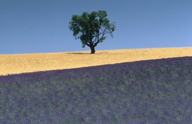 Pictures of fields & meadows  Wall Art as Canvas, Acrylic or Metal Print Plateau de Valensole