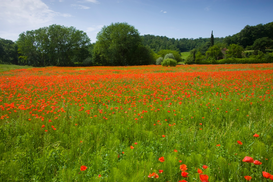 Landscape pictures Wall Art as Canvas, Acrylic or Metal Print Poppy field, Chiusi, Italy