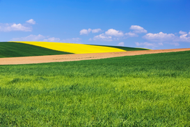 Landscape pictures Wall Art as Canvas, Acrylic or Metal Print Rape plant field in distance