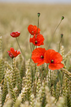 Landscape pictures Wall Art as Canvas, Acrylic or Metal Print Wildflowers; Poppies in a grain field