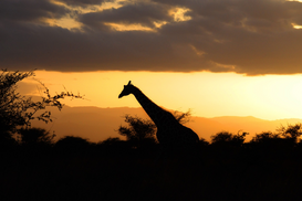 Sunset pictures Wall Art as Canvas, Acrylic or Metal Print Africa, Kenya, giraffe in the sunset