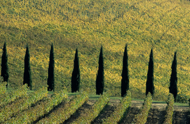 Foto: Alpen & Europa - vineyards along the road from poggibonsi to castellina, in chianti, tuscany, italy