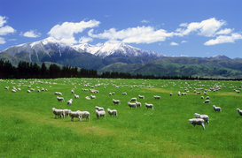 Foto: Velden & weiden - Sheep at sunset on South Island of New Zealand with Southern Alps