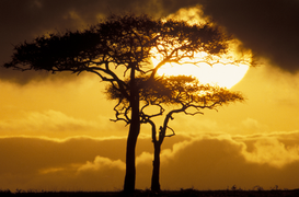 Foto: Zonnefoto's - africa, tanzania, acacia tree at sunset