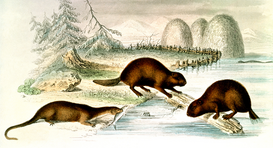 Vintage Illustration Wall Art as Canvas, Acrylic or Metal Print Biber und Fischotter / Farblith.19.Jh.
