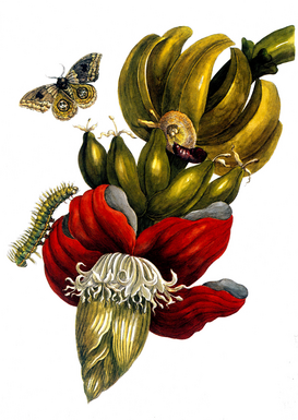 Vintage Illustration Wall Art as Canvas, Acrylic or Metal Print M.S.Merian, Banane und Automeris/1700