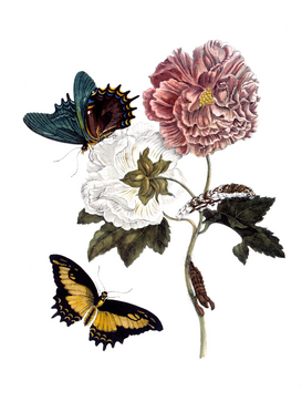 Vintage Art Pictures Wall Art as Canvas, Acrylic or Metal Print M.S.Merian, Hibiskus und Schwalbenschw.