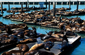 USA Bilder z.B als Leinwandbild oder Wandbild hinter Acrylglas: Seals on pier, San Francisco, USA